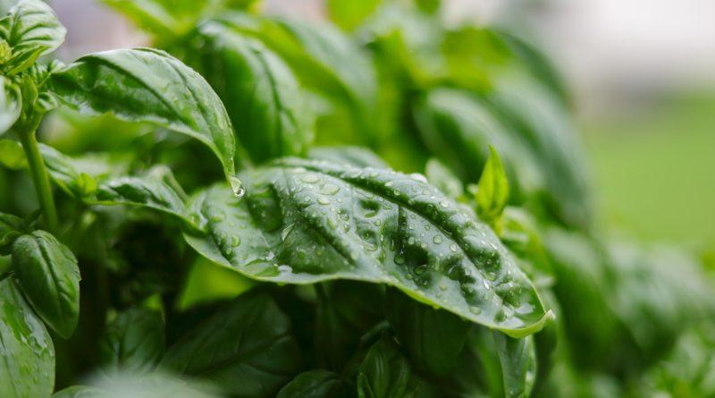 Przyprawy ziołowe - właściwości lecznicze i zastosowanie w kuchni